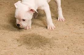 How can I remove pet urine stains and odor from my carpet